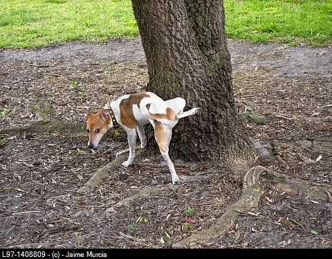 Image result for a dog peeing on a tree